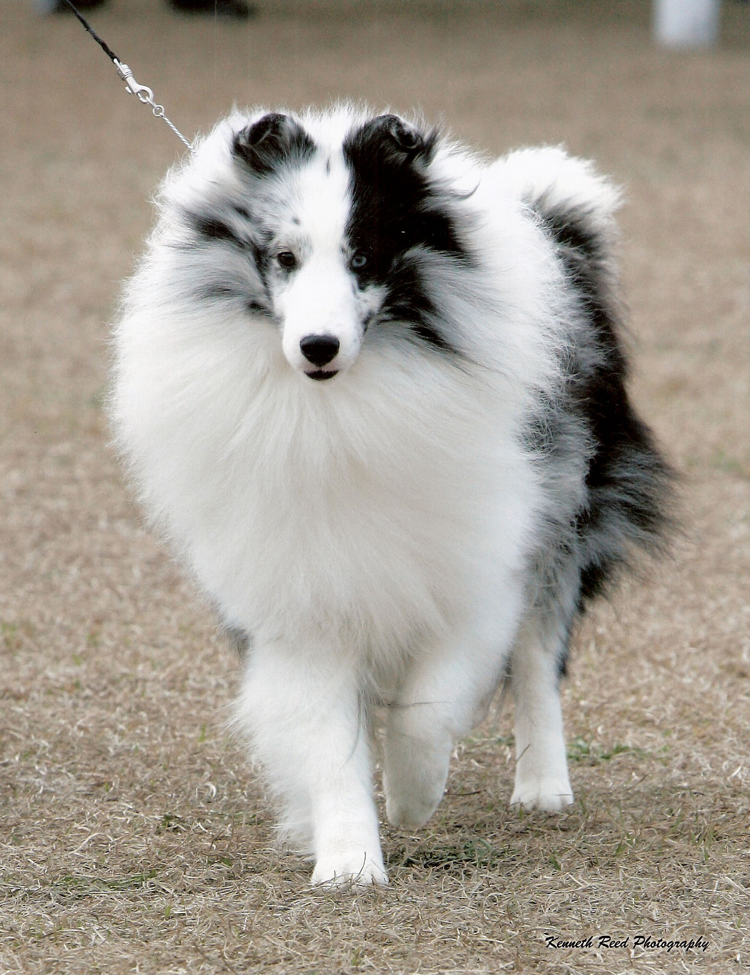 Can You Guys Tell Me All You Know About Shetland Sheepdog Shelties